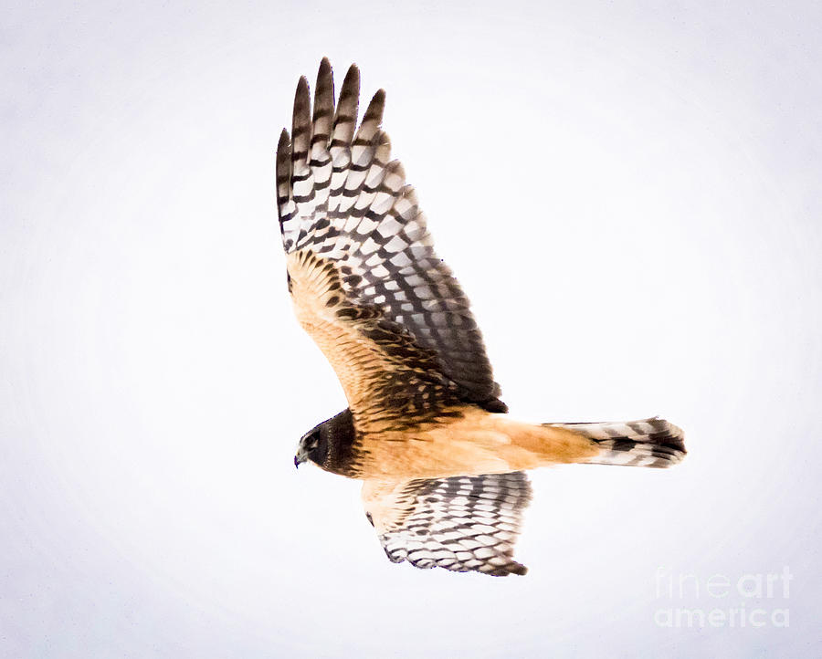 Canon Photograph - Northern Harrier  by Ricky L Jones