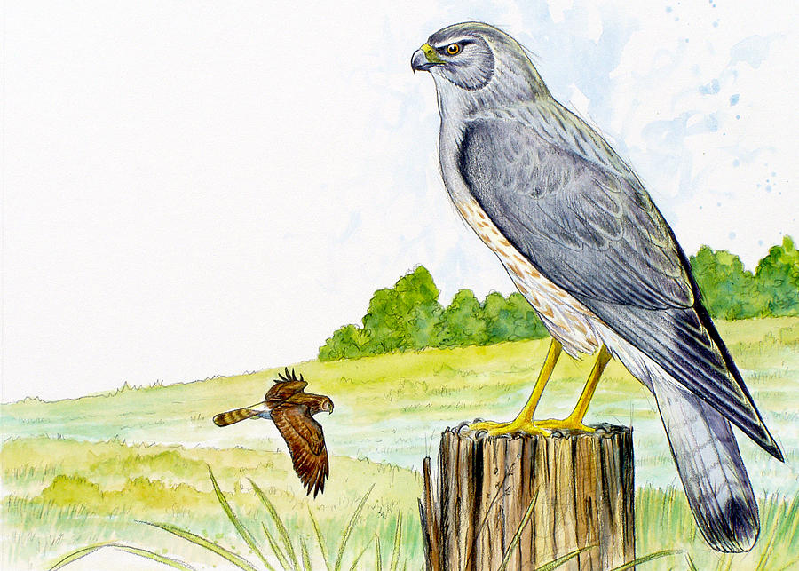Harrier Painting - Northern Harrier by Shari Erickson