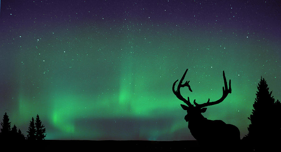 Northern Lights And Elk Photograph By Angela Boyko
