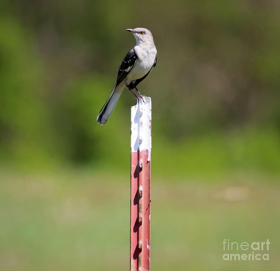 Bird Photograph - Northern Mockingbird Posing  by Ricky L Jones