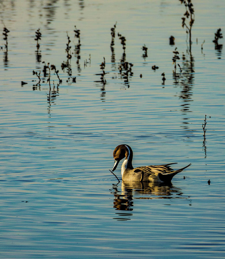California Photograph - Northern Pintail At The Wetlands by Randy Herring