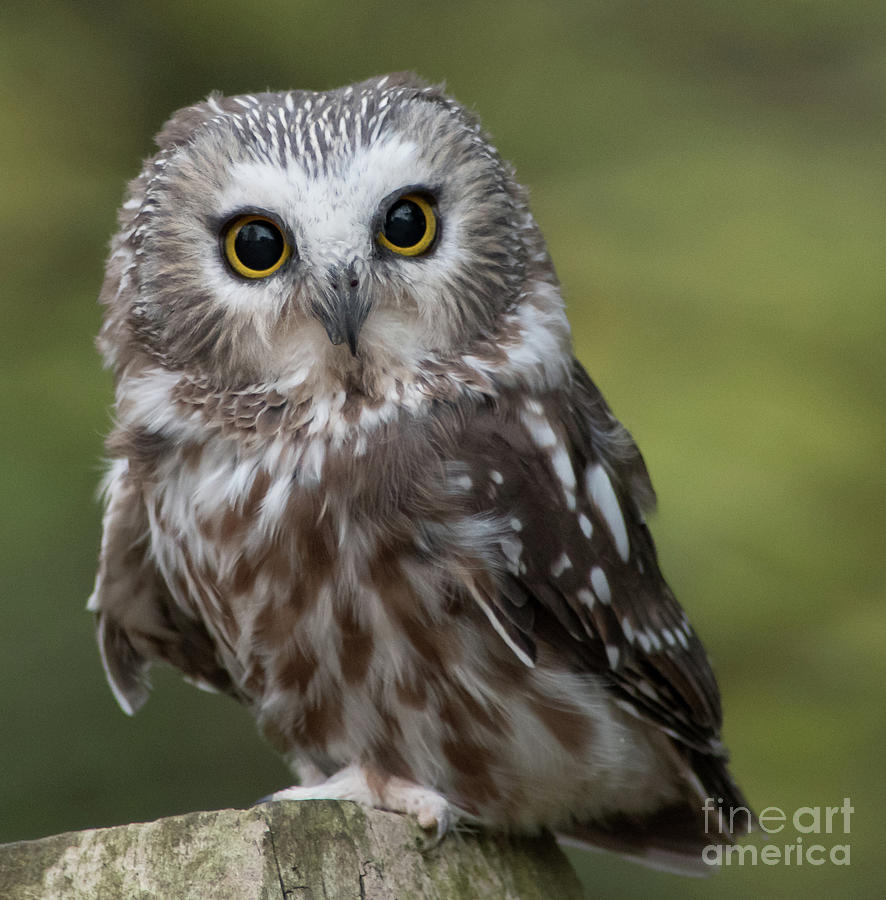 Northern Saw-whet Owl Photograph - Northern Saw-whet Owl by Rebecca Miller