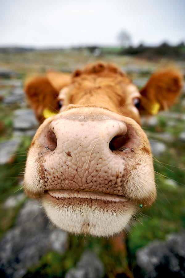 Nosey Cow by Lawrence Boothby