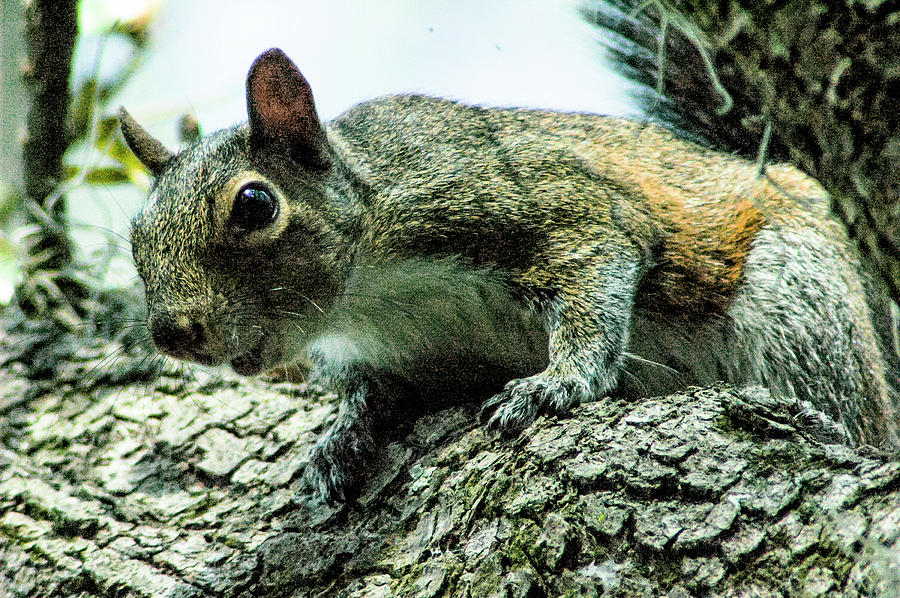 Eastern Grey Squirrel Photograph - Nosey Squirrel by Norman Johnson