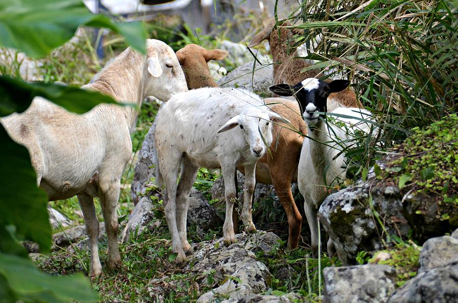 Saba Photograph - Nosy Sheep by Ingrid Zagers