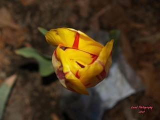 Closed Tulip Photograph - Not Ready For The World by Lacey Inman