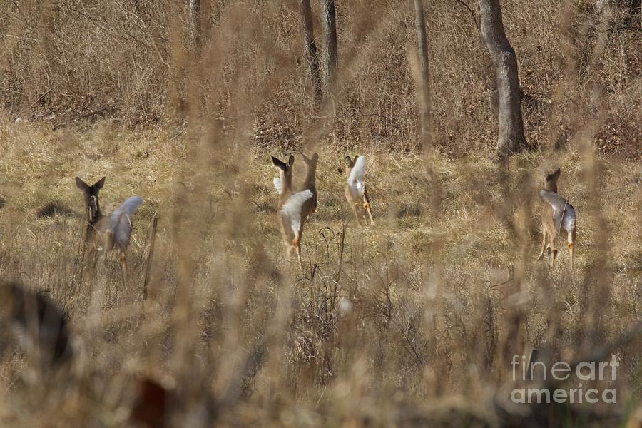 White Tail Deer Photograph - Nothing But White Tails by John Franke