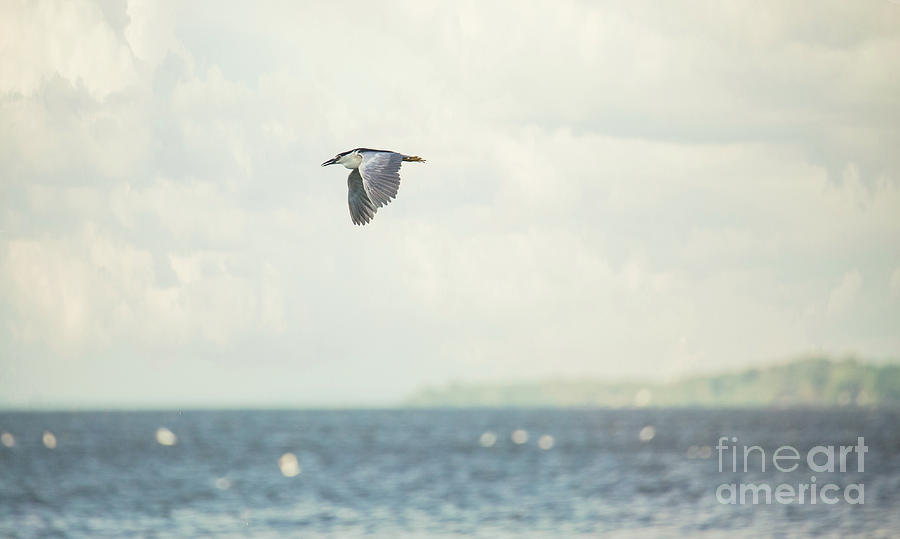 Black Crowned Night Heron Photograph - Nothing But Wide Open Spaces by Nikki Vig