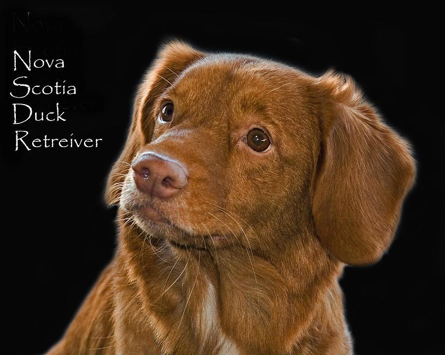Dog Photograph - Nova Scotia Duck Retreiver by Larry Linton