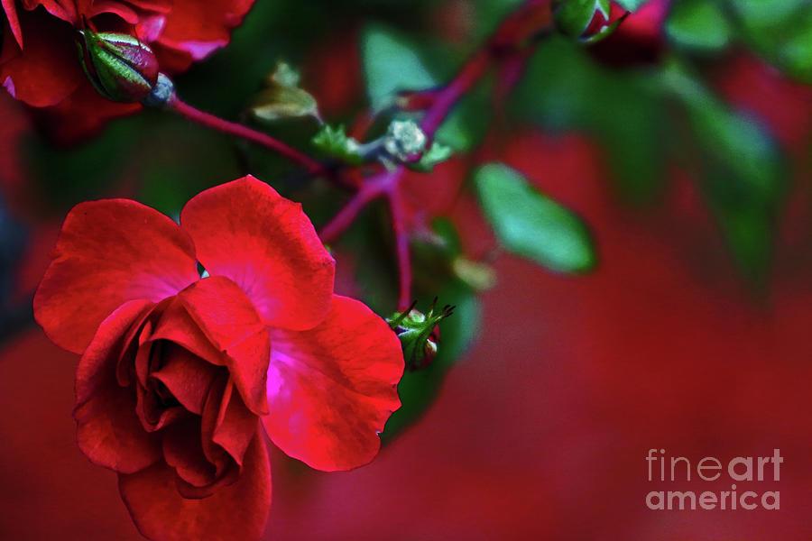 November Rose Photograph