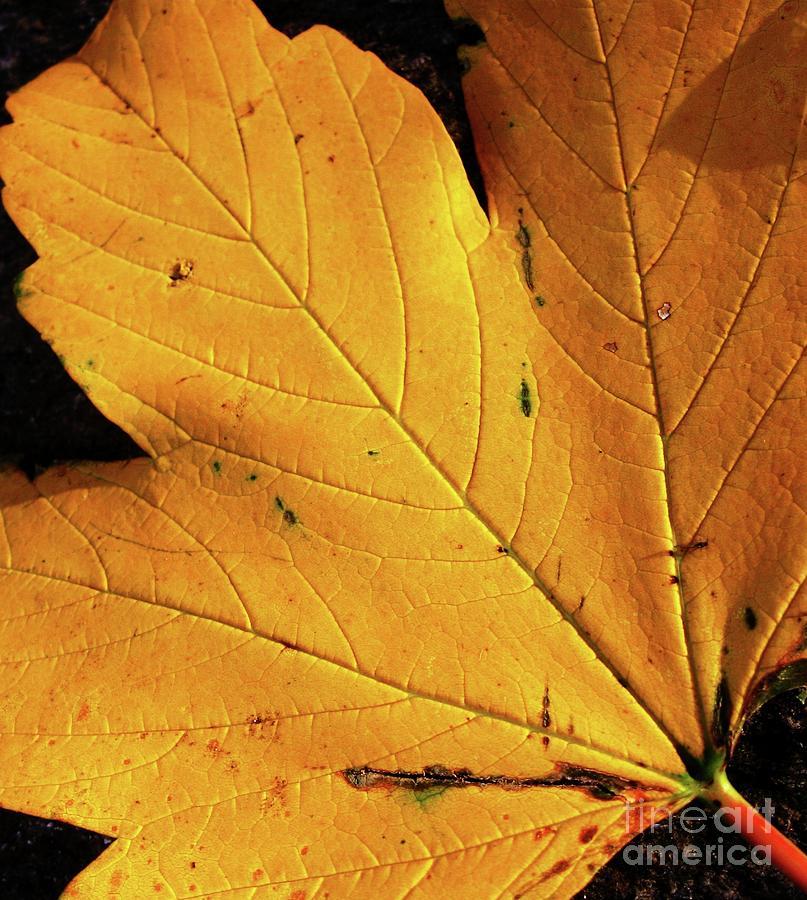 Leaf Photograph - Novemberleaf by Maria Scarfone