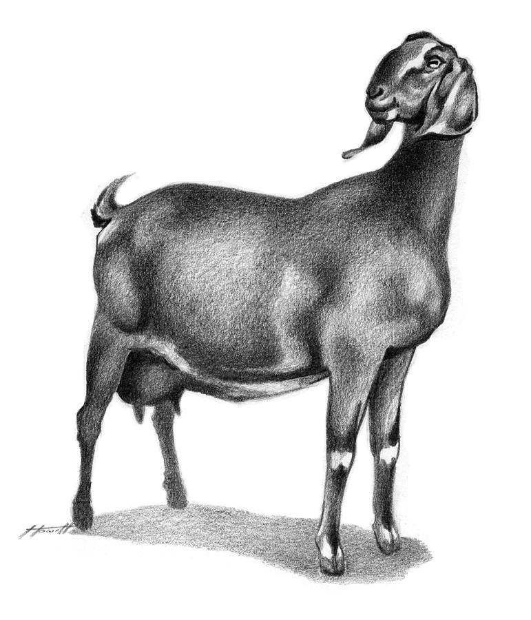 Nubian Milking Doe