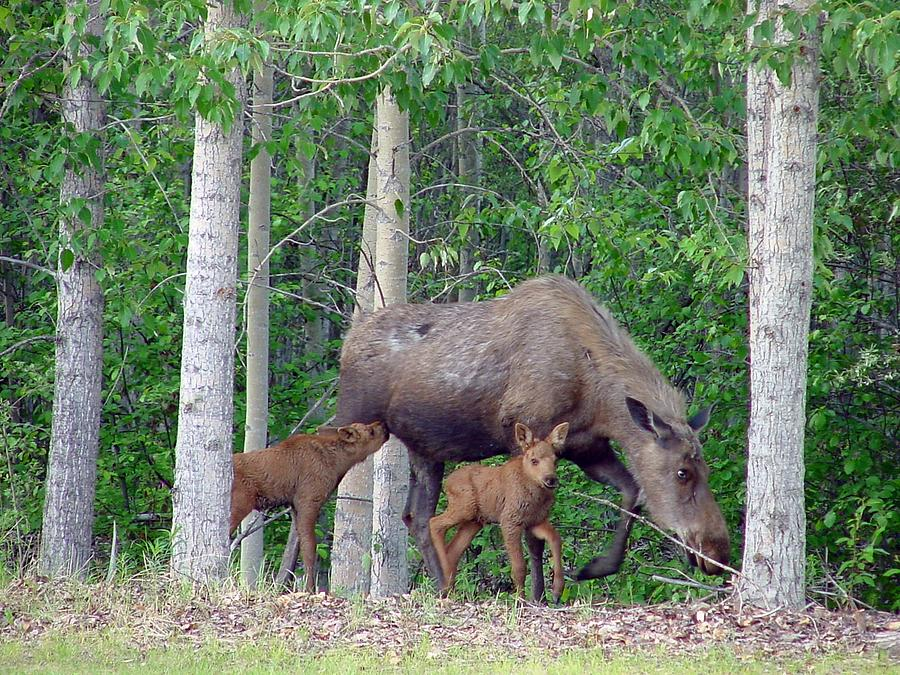 Alaska Nursing Moose Photograph