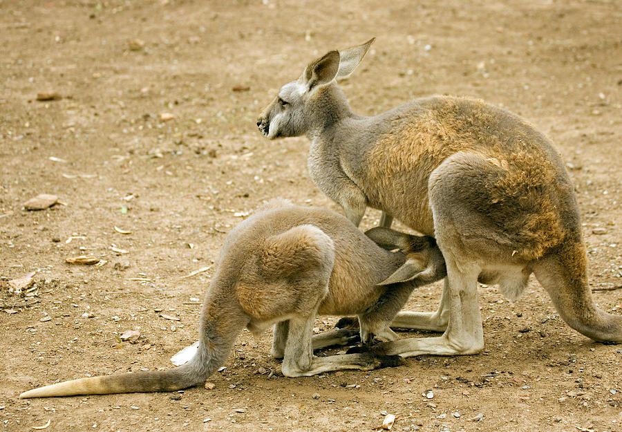 Kangaroo Photograph - Nursing Time by Mike  Dawson
