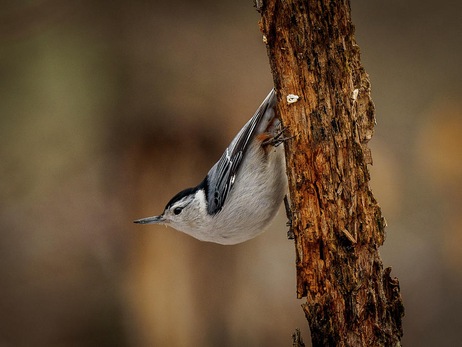 Nuthatch 1 by Timothy Harris