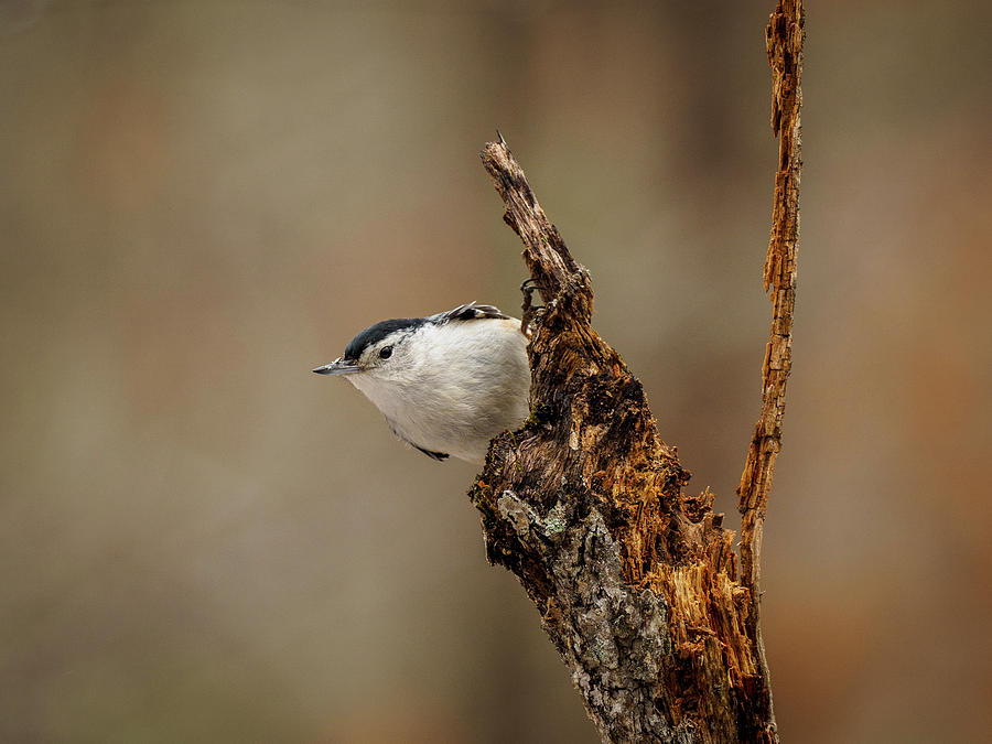 Nuthatch 2 by Timothy Harris