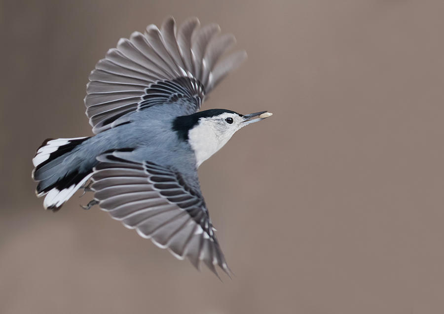 Nuthatch In Flight Photograph By Mircea Costina Photography