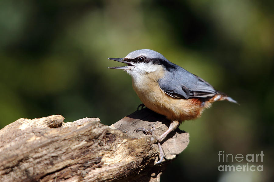 Nuthatch by Maria Gaellman