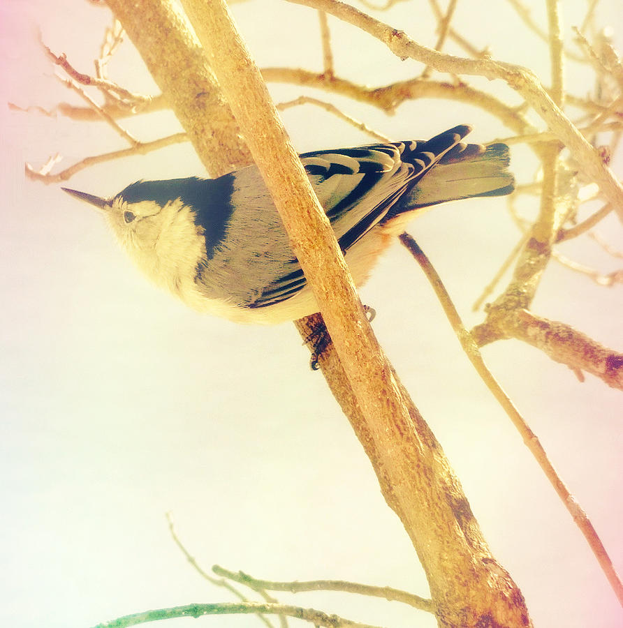 Nuthatch Photograph