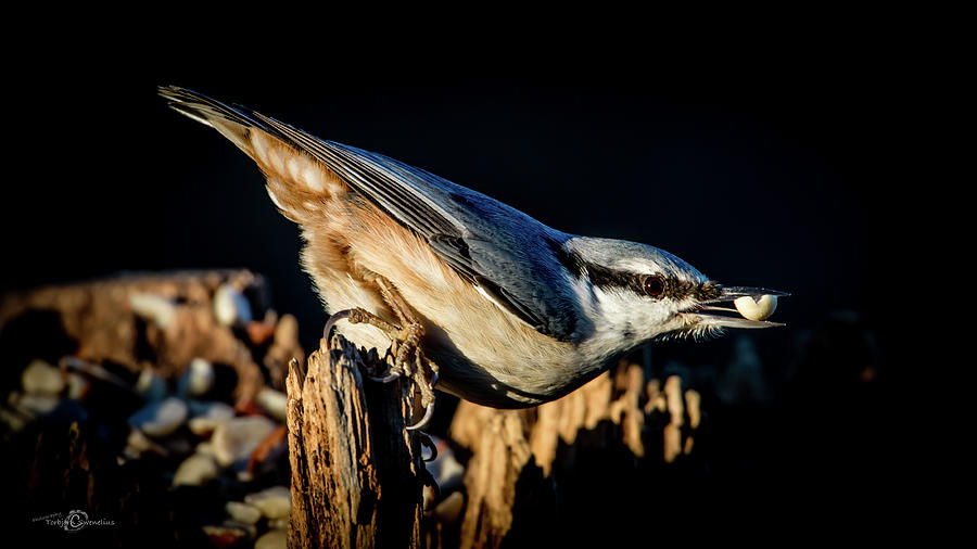 Nuthatch With A Nut In The Beak Photograph