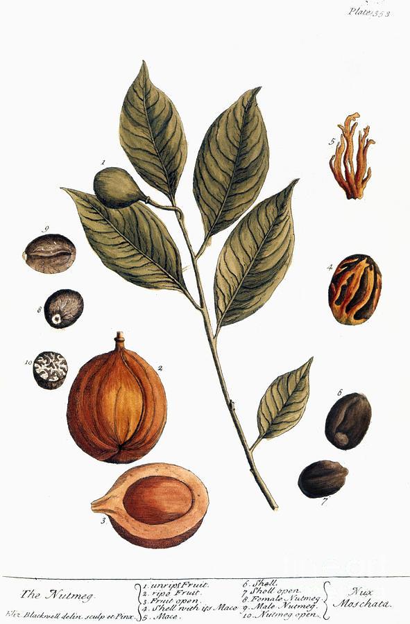 1730s Photograph - Nutmeg, 1735 by Granger