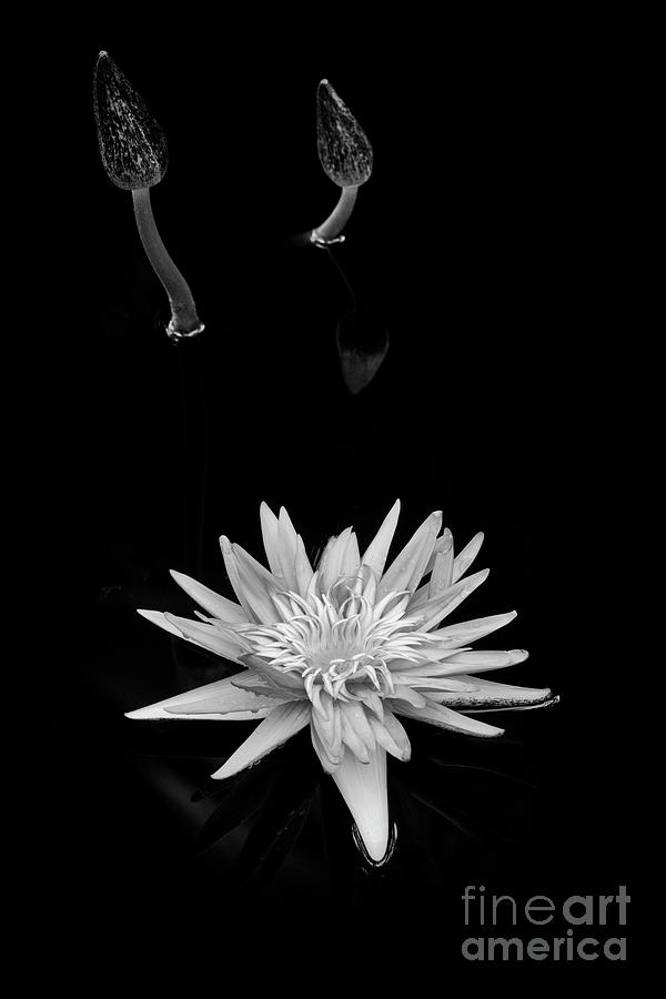 Lily Photograph - Nymphaea Foxfire by Tim Gainey