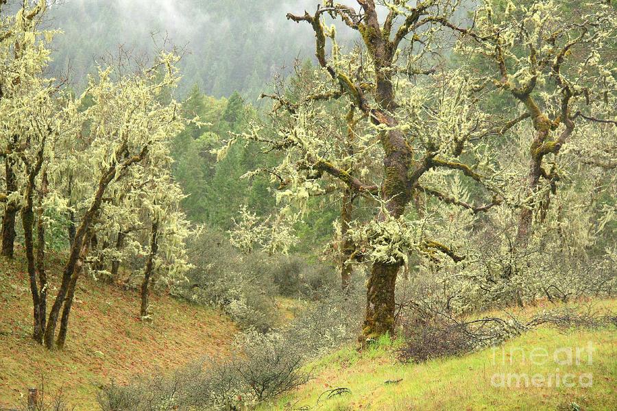 Oak Photograph - Oak Forest by Frank Townsley