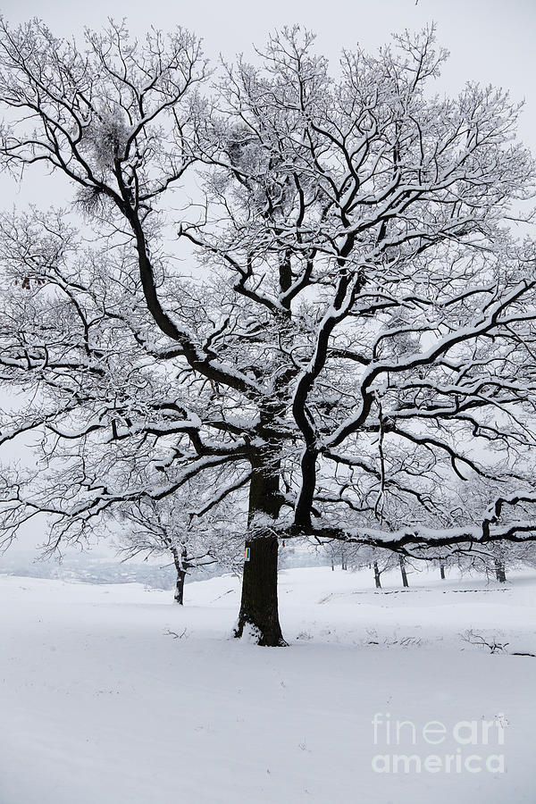 Winter Photograph - Oak by Gabriela Insuratelu