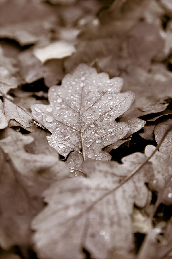 Oak Photograph - Oak Leaf by Frank Tschakert