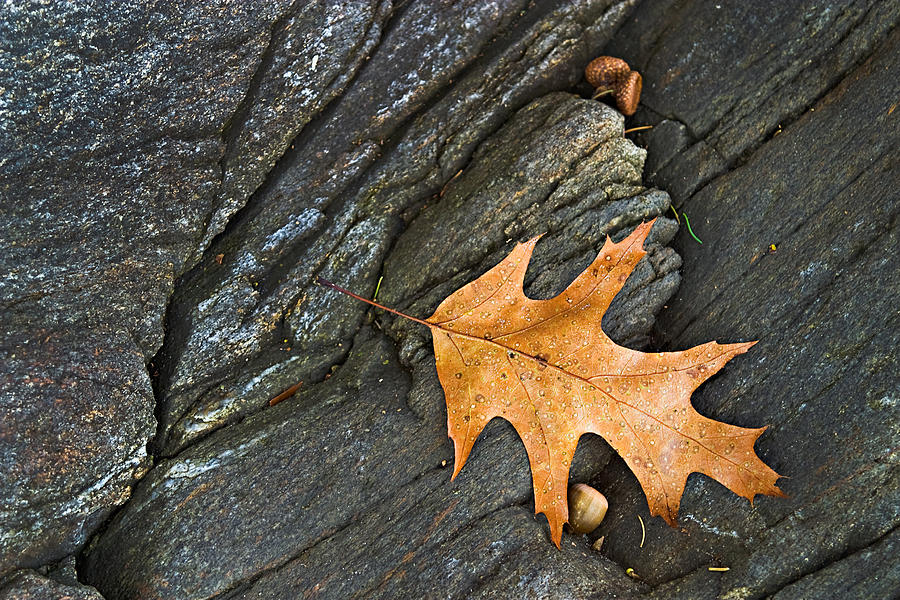 Leaf Photograph - Oak Leaf On The Rocks Photo by Peter J Sucy