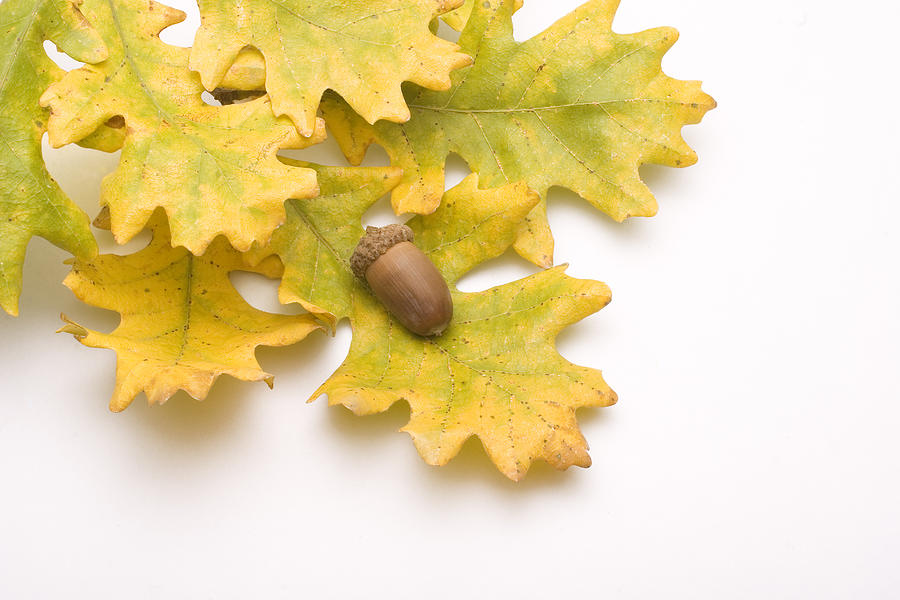 Acorn Photograph - Oak Leaves And Acorns by Utah Images