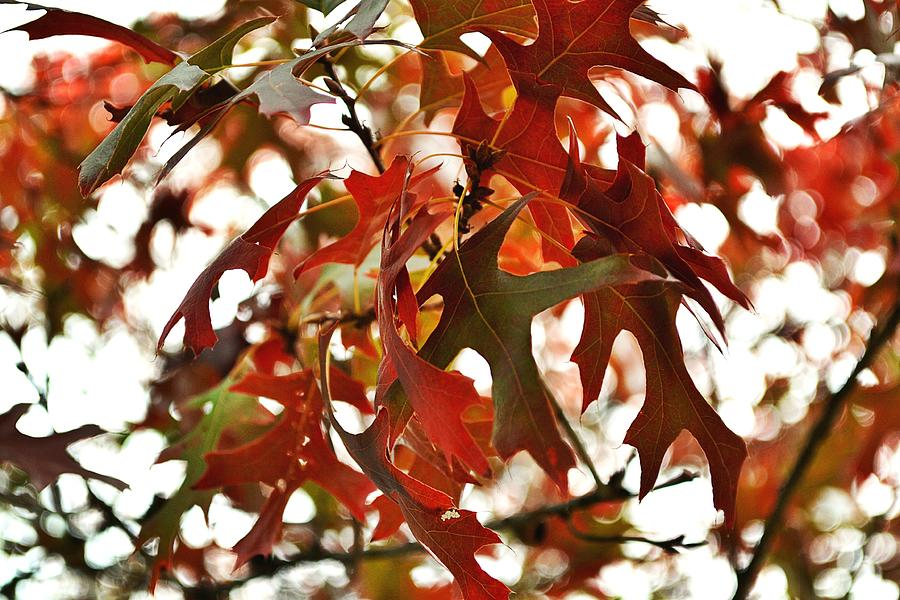 Oak Leaves In The Breeze Photograph
