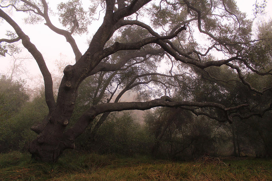 Coast Live Oak Photograph - Oak Sentinel With Coastal Fog by Robin Street-Morris