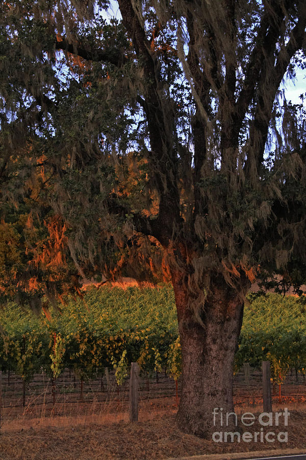 Calistoga Photograph - Oak Tree And Vineyards In Knights Valley by Charlene Mitchell