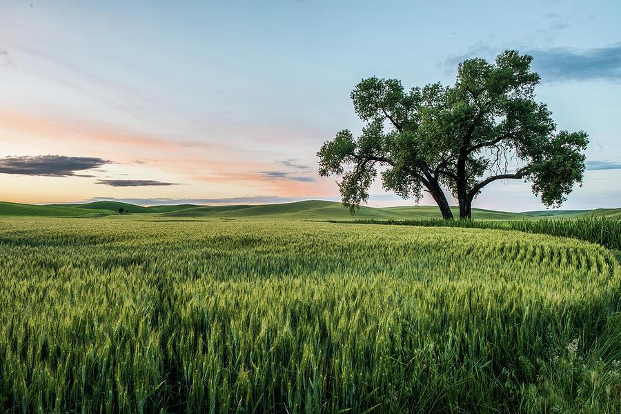 Oak Tree by Daniel Ryan