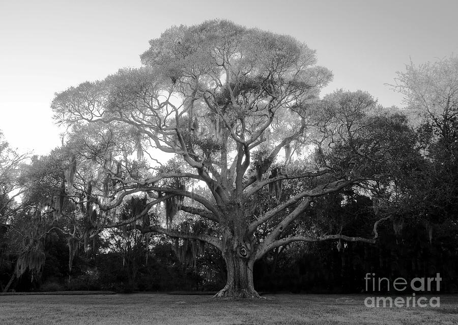 Oak Tree Photograph - Oak Tree by David Lee Thompson
