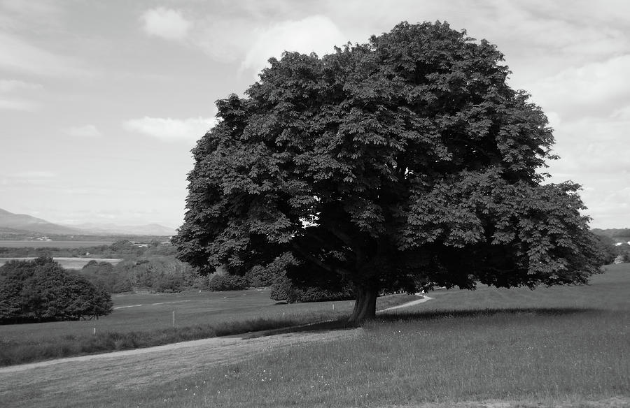 Tree Photograph -  Oak Tree - Killarney National Park by Aidan Moran