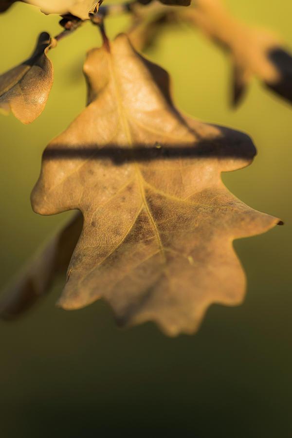 Nature Photograph - Oak Tree Leaf by Ignacio Leal Orozco