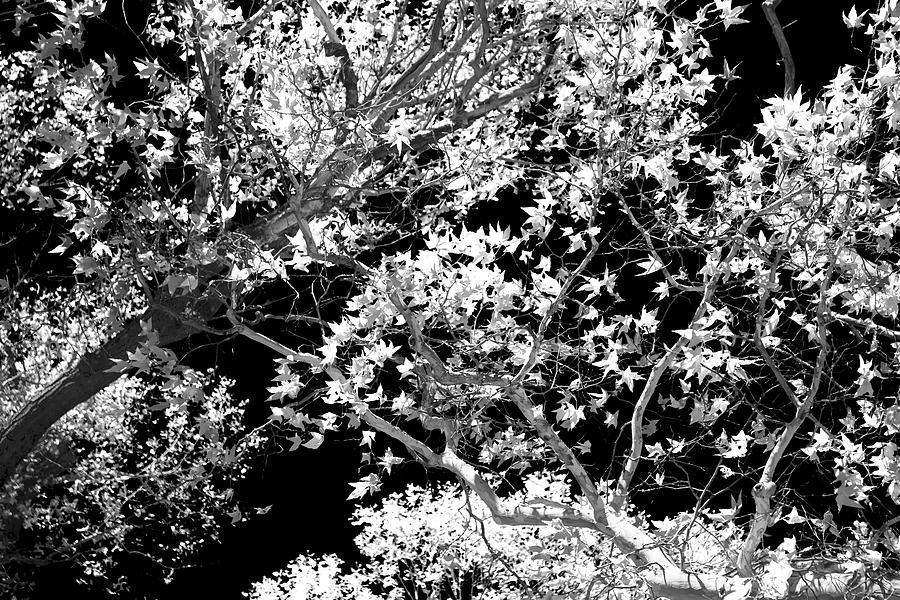 Arizona Photograph - Oak Tree Light by Cathy Franklin