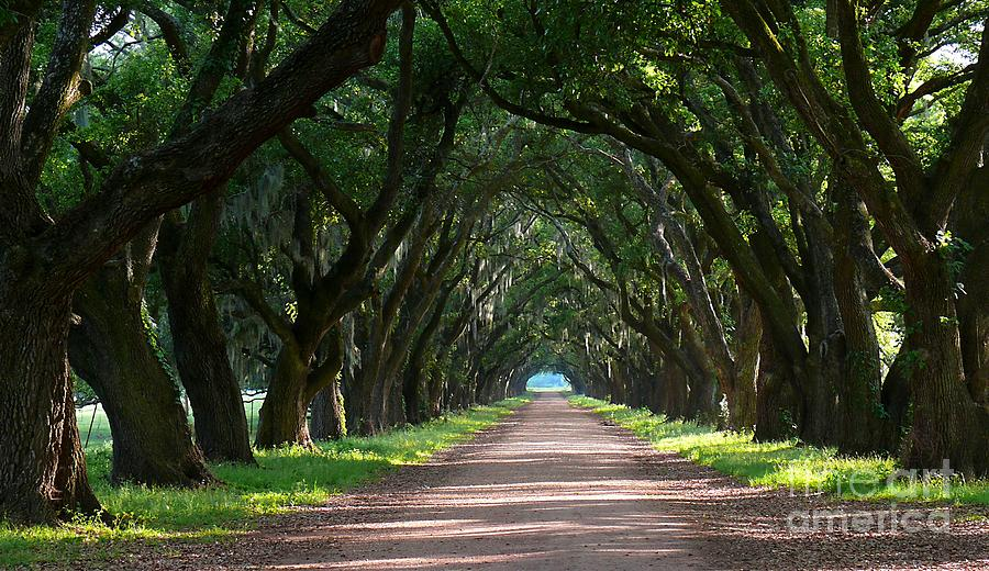 Oak tree path photograph by jeanne woods Pathway images