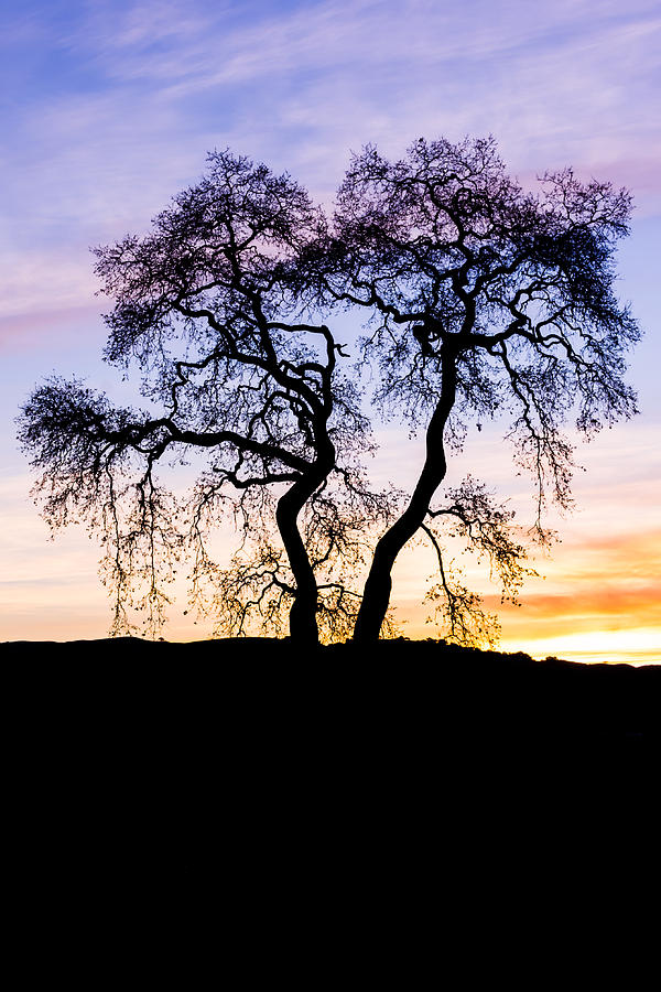 Oak Tree Silhouette At Dawn by Priya Ghose