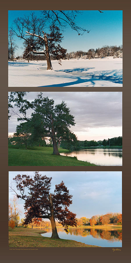 Oak Tree Through Seasons by Peg Toliver