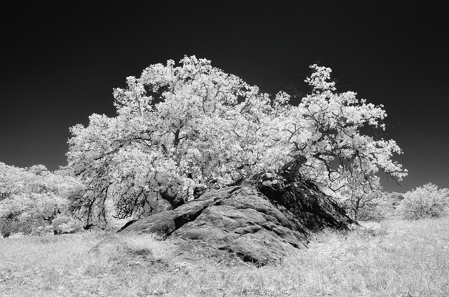 Infrared Photograph - Oak With Boulder I by Joseph Smith