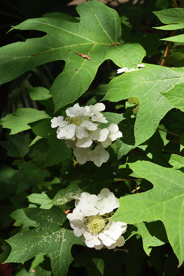 Oakleaf Hydrangea Floral by Aimee L Maher ALM GALLERY