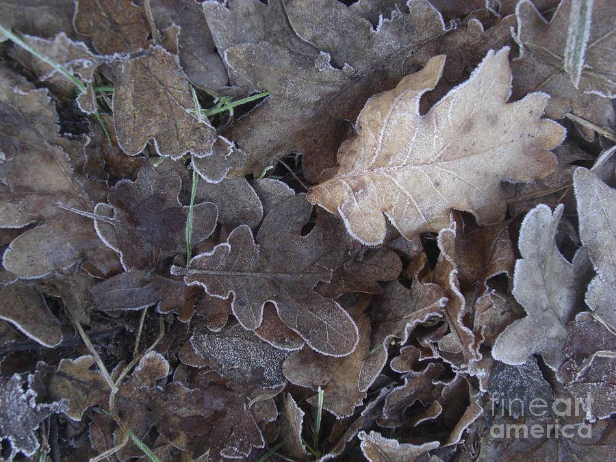 Oakleaves in winter by Liliane DUMONT-BUIJS