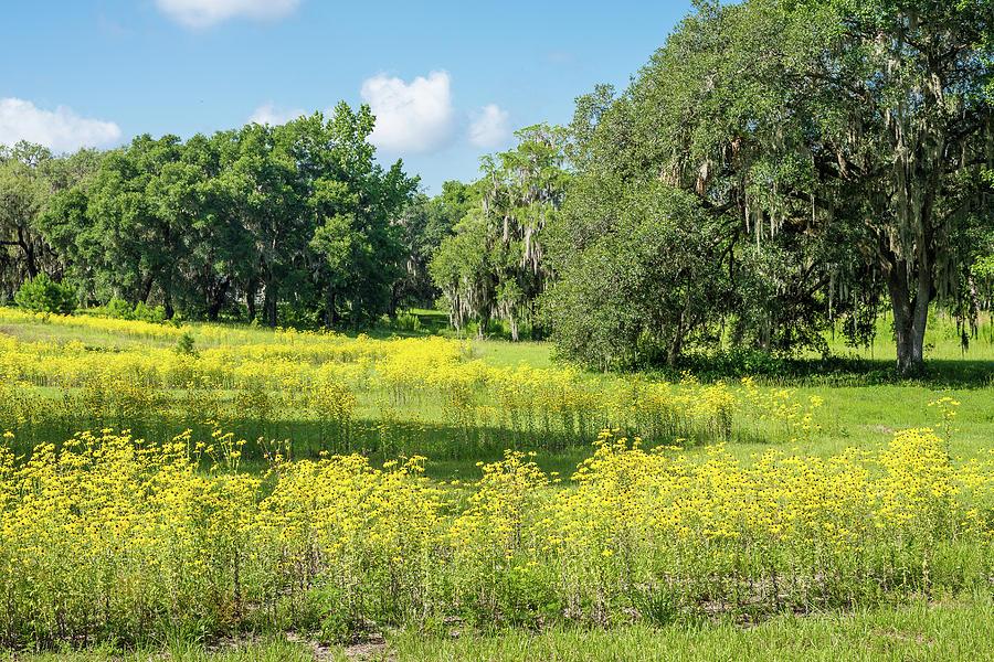 Florida Photograph - Oaks And Black-eyed Susans by Bryan Pridgeon
