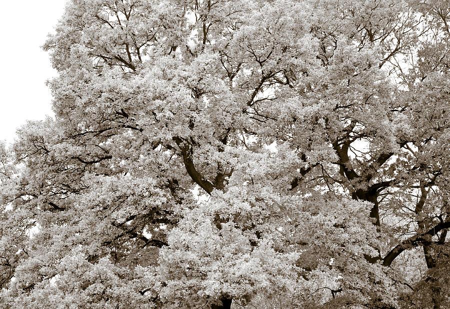 Oak Photograph - Oaks by Frank Tschakert