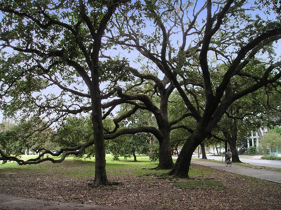 Tree Photograph - Oaks In Coliseum Park by Tom Hefko