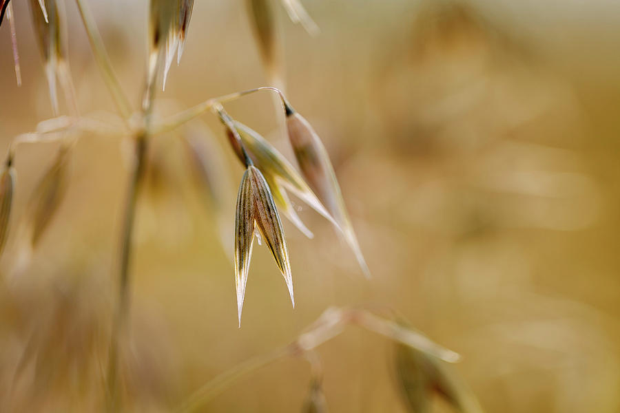 Summer Oat Photograph