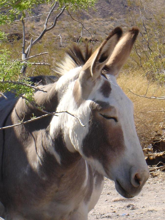 Wild Donkey Photograph - Oatman Burro by Lessandra Grimley